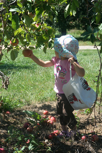 picking apples at stribling orchard