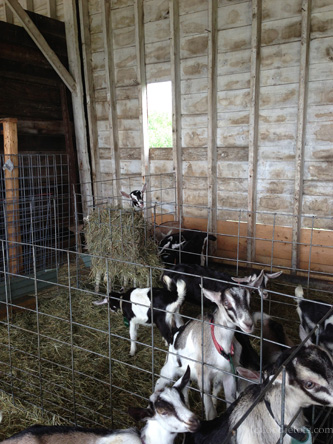 goats at ayers dairy farm